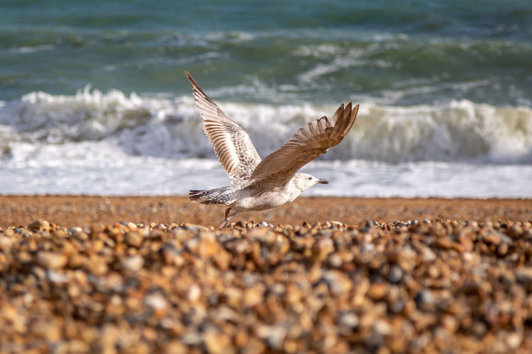 A young seagull about to take flight from a pebble beach