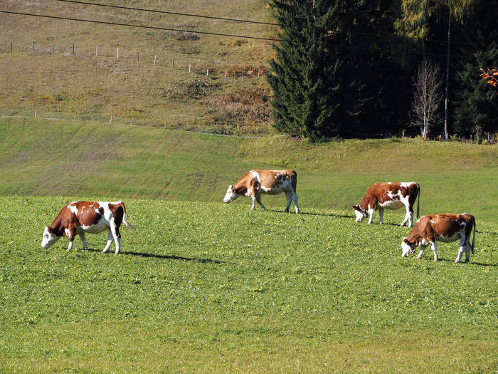 Animal Themes Cattle Cow Day Domestic Animals Farm Animal Field Grass Grazing Growth Landscape Livestock Mammal Nature No People Outdoors Tree Young Animal