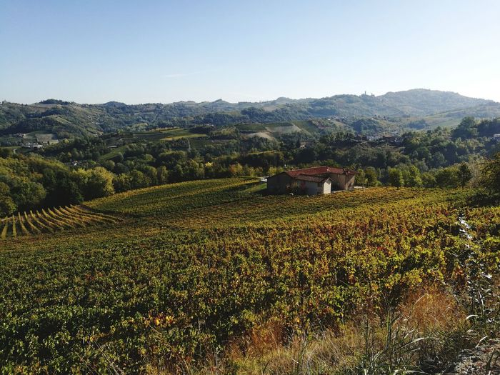 Agriculture Field Farm Crop  Rural Scene Landscape Hill Wine Growth Outdoors Nature Tree Food And Drink Day Plant Scenics No People Beauty In Nature Terraced Field Vineyard Vine