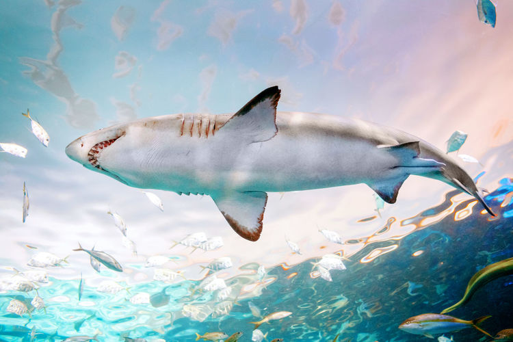 Giant scary shark with big teeth mouth under water in aquarium. sea ocean marine wildlife predator