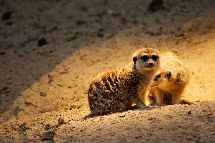 Animal Wildlife Animals In The Wild Mammal Meerkat No People One Animal Sand Land Vertebrate Nature Young Animal Day Outdoors Desert Cute Animal Family