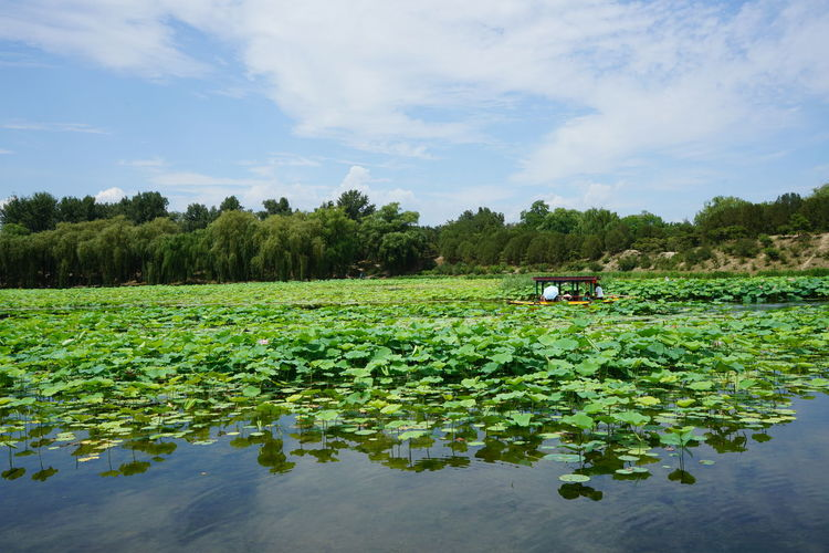 Boat Water Lily