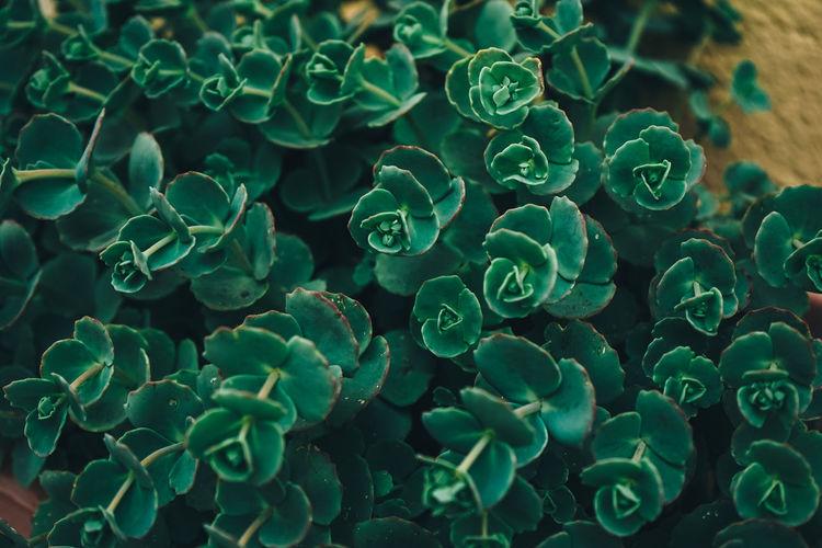 Full frame shot of succulent plants