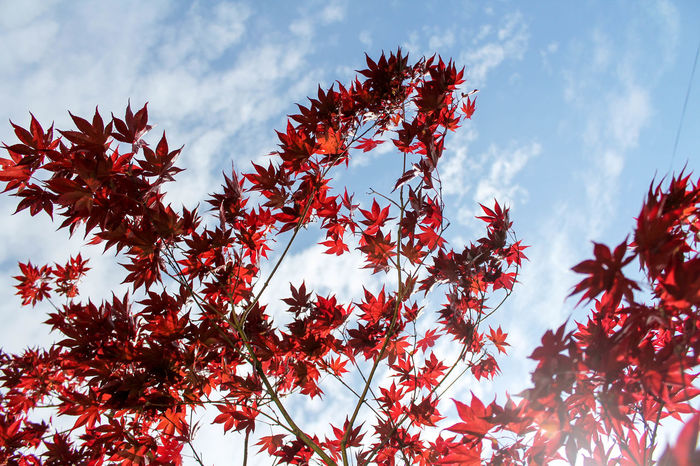 High above IV Autumn Beauty In Nature Branch Change Day Growth Leaf Low Angle View Maple Maple Leaf Maple Tree Nature Outdoors Plant Red Sky Tree