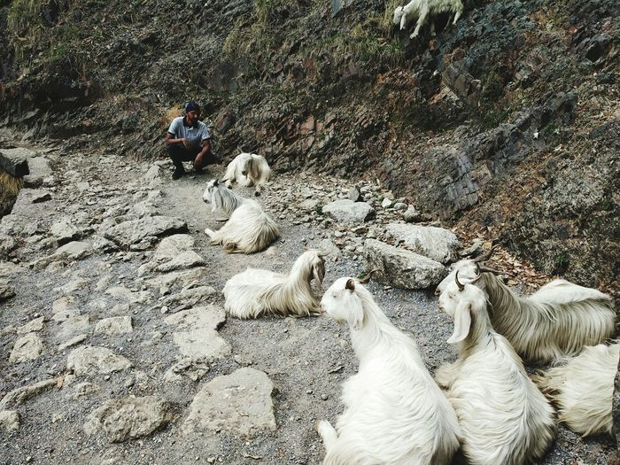 Man Sitting With Goats On Footpath