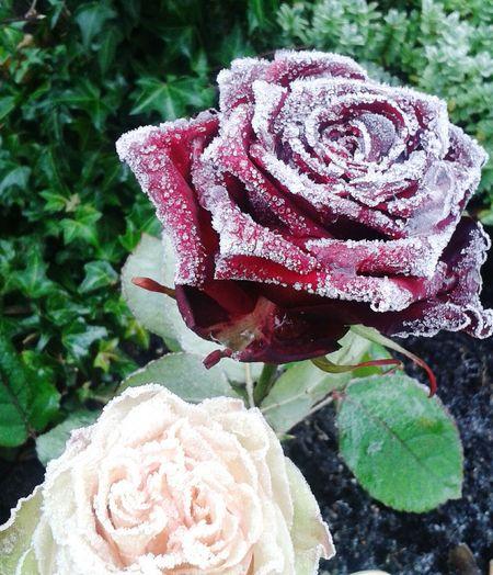 Rose♥ Winter Flowers