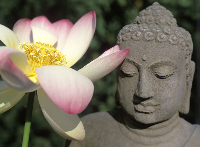 Buddha Statue and Lotus Flower Beauty In Nature Buddha Statue Close-up Flower Fragility Lotus Flower No People Pink Color Plant Statue