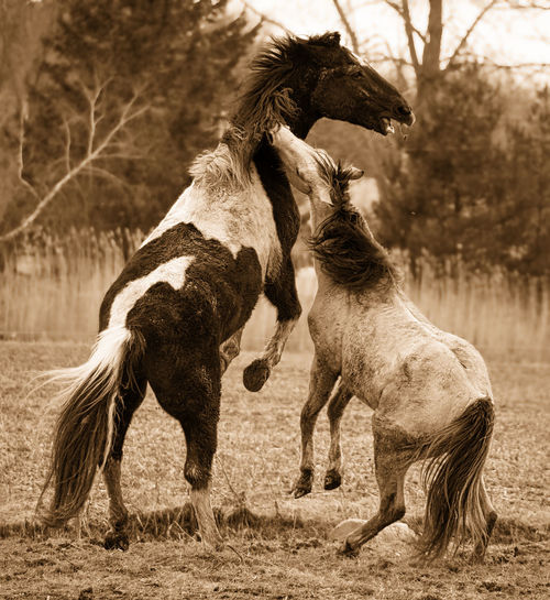 Two horses playing