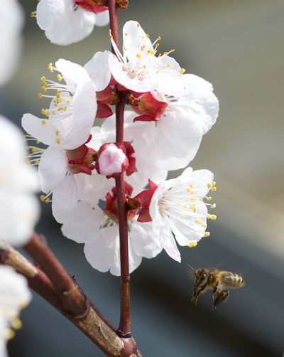 Fleurs d'abricotier en cours de pollinisation! Flower Growth Nature Freshness Fragility Petal Close-up Beauty In Nature White Color Flower Head No People Pollen Blossom Twig Plum Blossom Day Tree Outdoors Rhododendron Sky