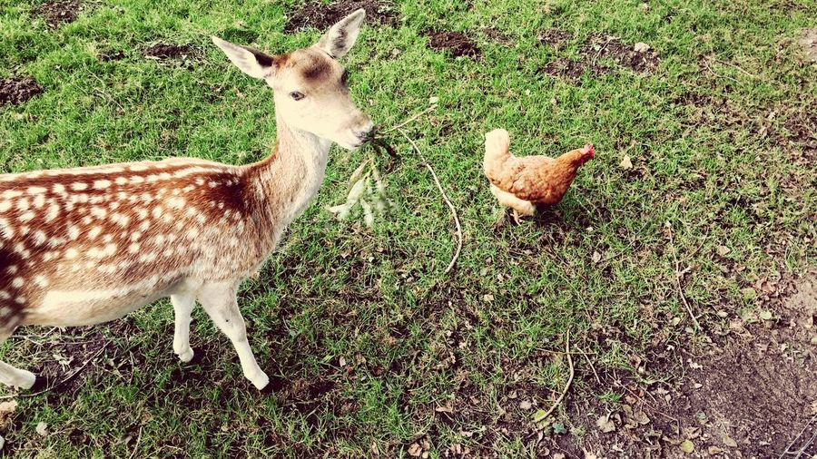 Tierische Freunde - Damwild und Huhn Huhn Damhirsch Wildtiere Livestock Grass Animal Themes Domestic Animals Field No People Day Green Color Outdoors Nature Young Animal Moments Of Happiness