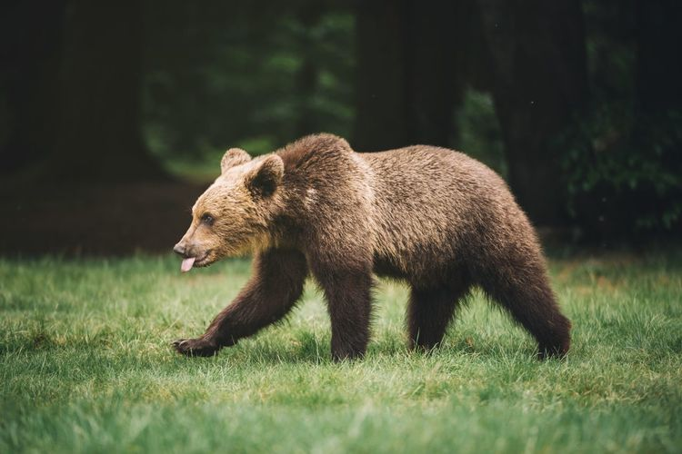 Bear Walking On Field