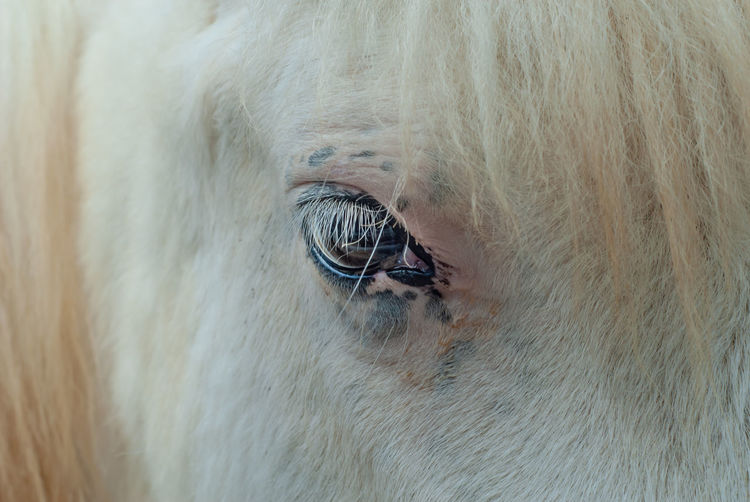 Detail of the eye of a young horse with white fur Mammal Domestic Pets Animal Horse One Animal Domestic Animals Animal Body Part Animal Themes Eye Livestock Close-up Hair Animal Head  Vertebrate Animal Eye Animal Hair No People Animal Wildlife Mane Herbivorous Horses