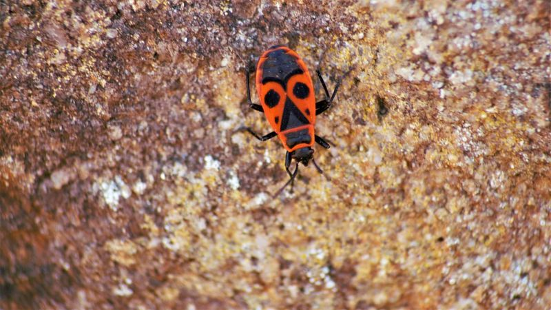 Animal Animal Themes Animal Wildlife Animals In The Wild Beauty In Nature Beetle Close-up Day Feuerwanze Insect Invertebrate Nature No People One Animal Orange Color Outdoors Rock Rock - Object Selective Focus Solid Zoology