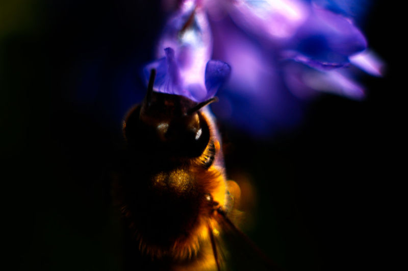Animal Head  Animal Themes Bumblebee Close-up Insect Macro Nature Selective Focus Wildlife