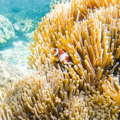 Finding nemo Vscocam Snorkling Sea Thailand Thailand_allshots Coral Amzthld Amazingplace Teamtraveler Theglobewonderer Gopro Underwater Underwaterphotography Ventureout Goprooftheday