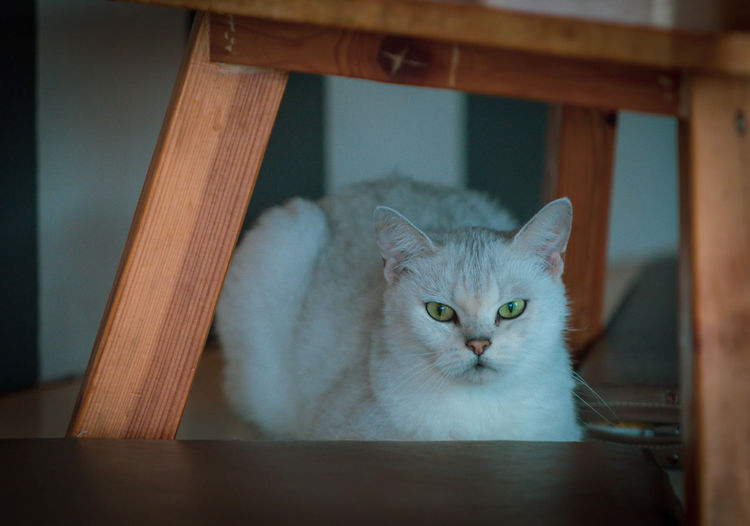 Portrait of cat on table