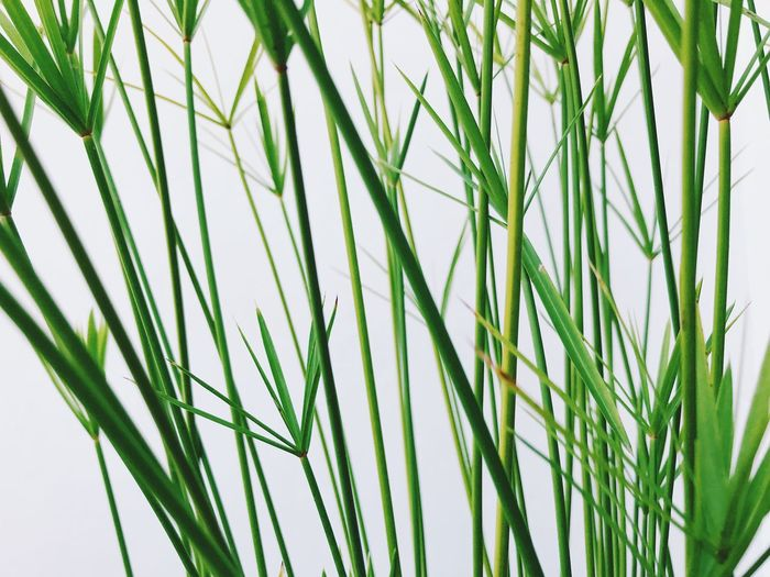 Green Color Growth Plant No People Nature Grass Close-up Beauty In Nature Day Backgrounds White Background Blade Of Grass Full Frame Studio Shot Freshness Outdoors Tranquility Green Leaf Clear Sky Bamboo - Plant