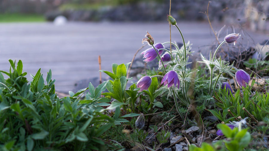 Dane's Blood Alpine Pasqueflower Beauty In Nature Blooming Close-up Crocus Day Flower Flower Head Fragility Freshness Garden Green Color Growth Leaf Nature No People Outdoors Pasque Flower Petal Plant Purple Flower Snowdrop Spring Spring Flowers