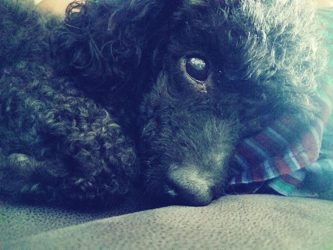 Poodle🐩 Love Without Boundaries Black Curly Hair One Animal Pets Domestic Animals Dog Animal Themes Mammal Puppy Indoors  Close-up Lying Down No People The Babies Sleepy Close Up Photography
