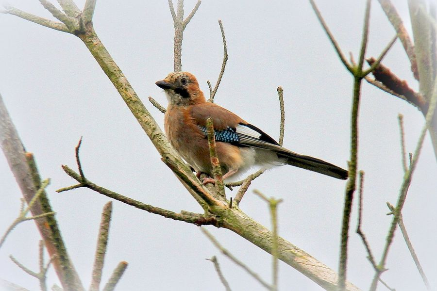 Today's garden bird in Woodley UK. The lovely Jay .... Bootiful. Garden Bird Photography Birds EyeEm Birds Bird EyeEm Nature Lover Nature_collection Nature Beautiful Nature Colorful