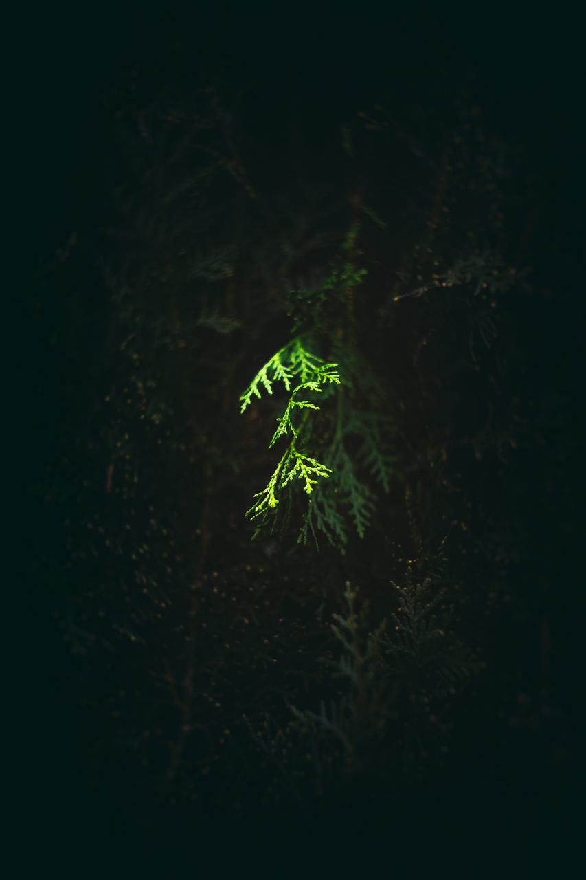 growth, plant, green color, nature, no people, beauty in nature, outdoors, leaf, close-up, freshness, night, fern, fragility