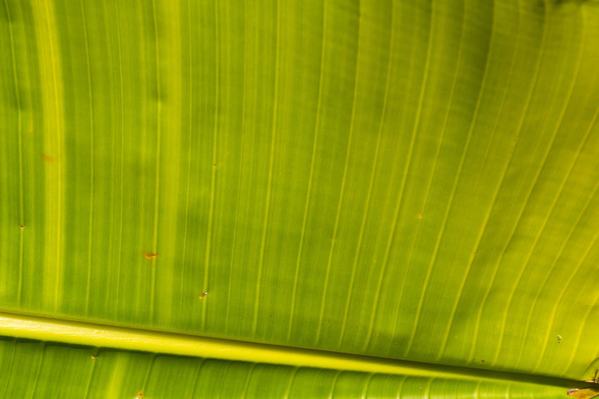 Backgrounds Banana Leaf Beauty In Nature Close-up Day Freshness Frond Full Frame Green Color Growth Leaf Nature No People Outdoors Palm Leaf Palm Tree Textured  Tree