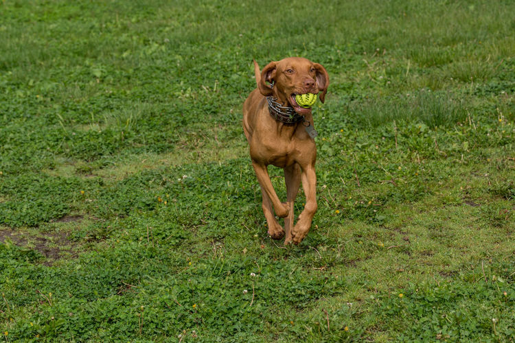 Vizsla with ball in mouth running on grassy field
