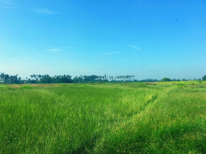 Field Agriculture Growth Nature Green Color Beauty In Nature Crop  Tranquility Tranquil Scene Rural Scene Landscape Scenics Day Tree Sky Outdoors No People Grass Plant Cereal Plant