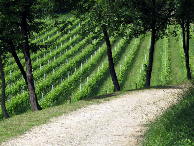 Beauty In Nature Country Road Field Green Color Growth Landscape Landscape_photography Nature Outdoors Perspective Rural Scene Tree Lined Vineyard