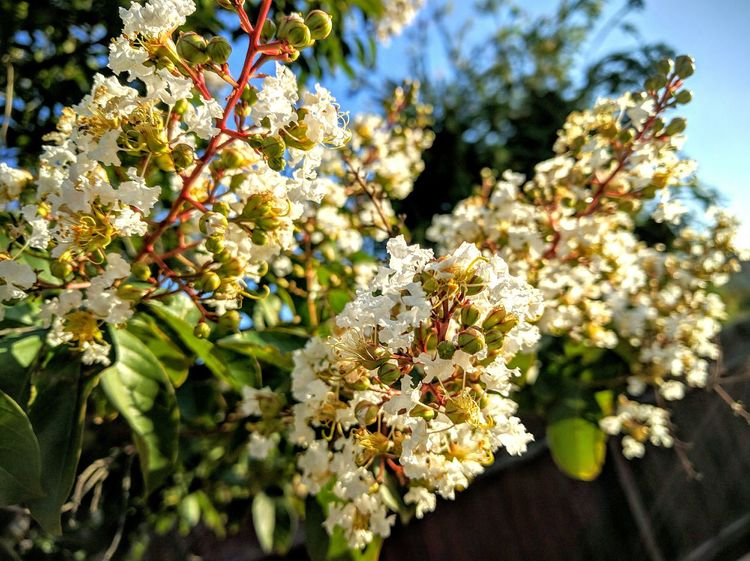 flowering tree in my in law's backyard Taking Photos Eyeemphotography Ilovephotography White Flowers Eyeemgallery Mobile Photography What I See Let's Do It Chic! Eye4photography  EyeEm Gallery Popular Photos EyeEm Nature Lover My Photography Flower Photography TreePorn Eyeem Tree Flowers_collection Flowers Flower Porn The Great Outdoors - 2016 EyeEm Awards Essence Of Summer
