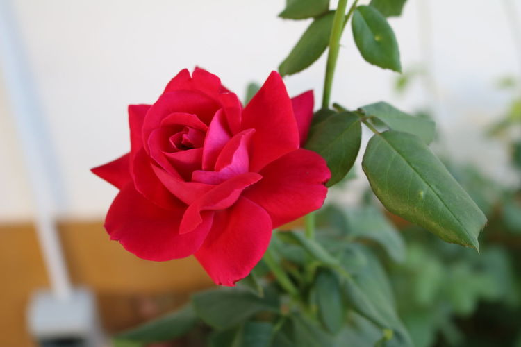 Beauty In Nature Close-up Day Flor Flor Vermelha Flower Flower Head Fragility Growth Nature No People Outdoors Petal Plant Red Red Red Flower Rosa Rosas🌹🌹 Rose - Flower Rose🌹 Vermelho