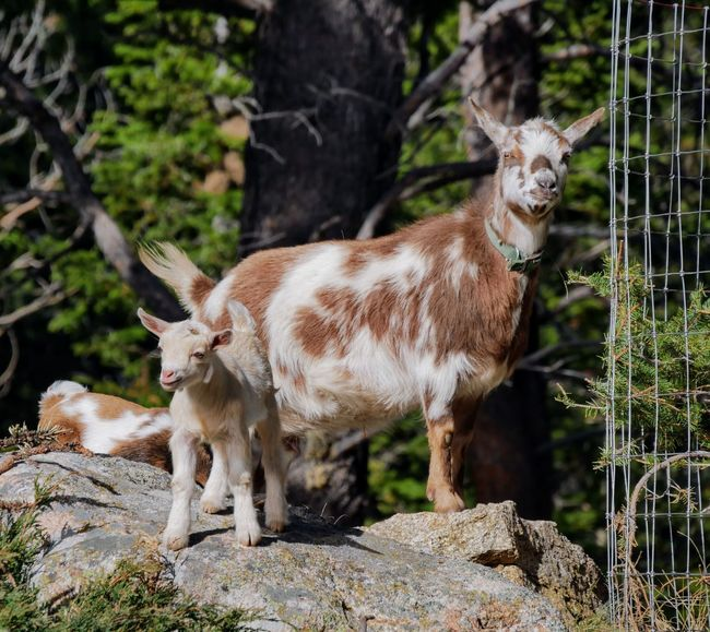 Animal Wildlife Animal One Animal Mammal Animals In The Wild Animal Themes No People Outdoors Day Standing Full Length Domestic Animals Nature Close-up Cute Farm Animals Goats Alertness Baby Goats Goat