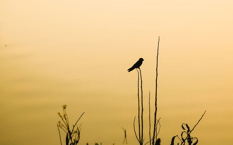 Silhouette bird perching on a plant