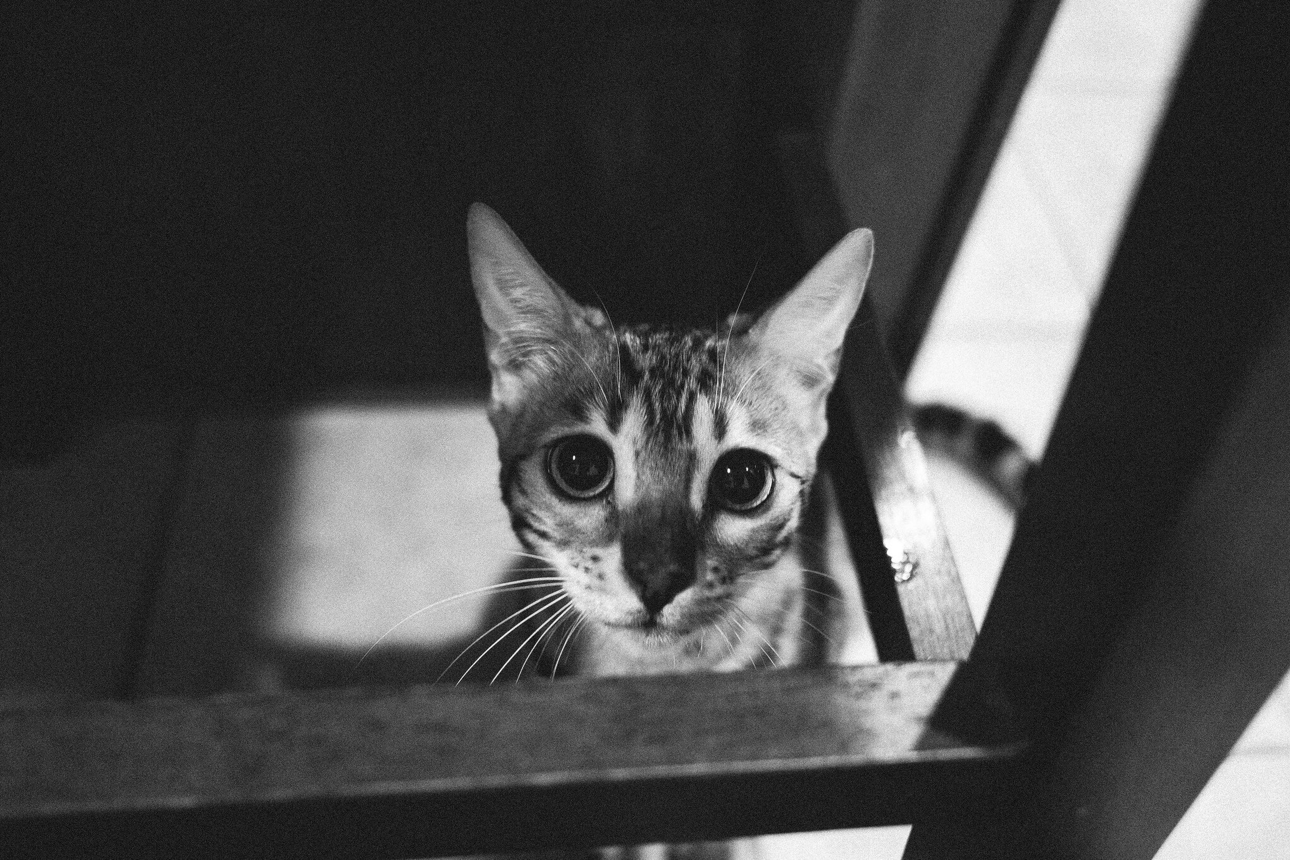 pets, indoors, domestic animals, domestic cat, animal themes, cat, one animal, looking at camera, portrait, mammal, feline, whisker, staring, home interior, close-up, high angle view, animal head, alertness, kitten, animal eye