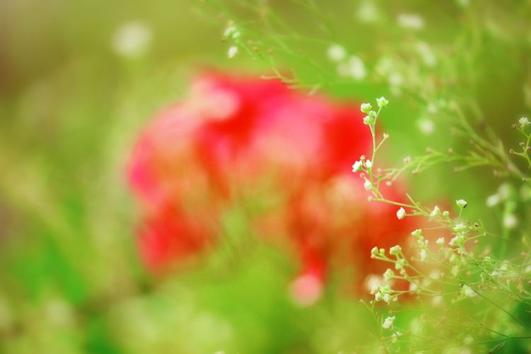 Plant Growth Flower Beauty In Nature Close-up Fragility Flowering Plant Vulnerability  No People Freshness Nature Focus On Foreground Red Selective Focus Petal Outdoors Inflorescence Sunlight Tranquility Day