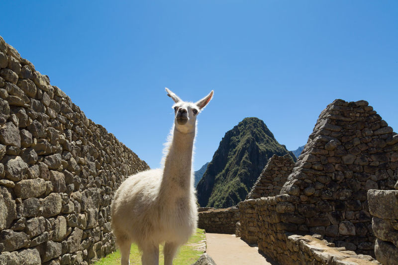 Derpy Llama Funny Machu Picchu Peru Ancient Civilization Animal Themes Animals In The Wild Clear Sky Day Derp Domestic Animals Livestock Llama Mammal Nature No People Odd Old Ruin One Animal Outdoors Portrait Sky Standing