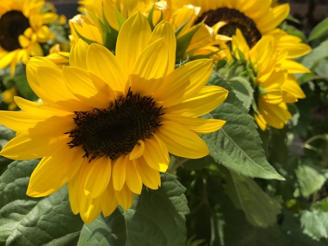 The Week On EyeEm Sunflowers Nature Flower Yellow Petal Fragility Freshness Beauty In Nature Flower Head Growth Plant Outdoors Sunflower Blooming Close-up No People
