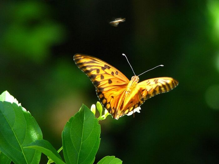 Insect Nature Close-up Animals In The Wild Plant One Animal Animal Themes Butterfly - Insect Battlefield Beauty In Nature BORBOLETA Borboletas