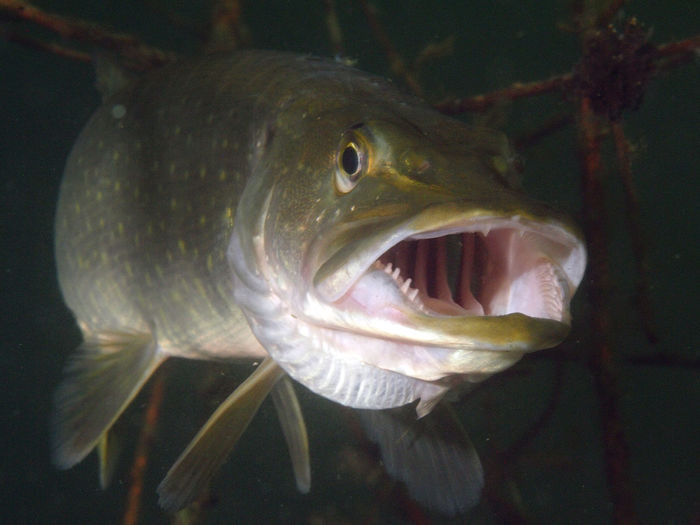 underwater photography Divingphotography Northern Pike Esox Animal Animal Themes Animals In The Wild Vertebrate Animal Wildlife Fish One Animal Swimming Water Underwater Sea Close-up Mouth Open Mouth No People Sea Life Nature Marine Outdoors Animal Mouth Animal Eye