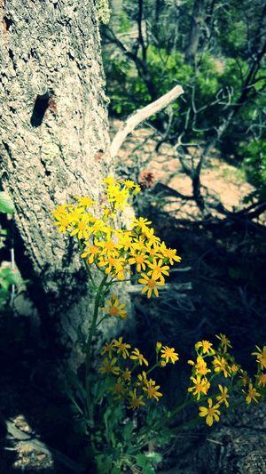 Natural Beauty Yellow Flower Hiking❤ Pino Trail