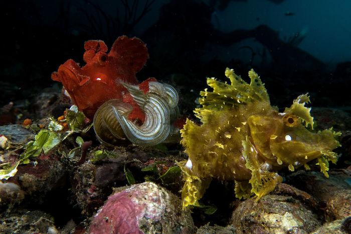 📸 with a Canon G7xMarkII in a Nauticam housing 🐟🐟 Rhinopias eschmeyeri & Rhinopias frondosa #rhinopias #Blue #Davao #DavaoCity #RhinopiasFrondosa #UNDERWATER #davaoPhilippines #divephilippines #marinebehavior #marinelife #marinephoto #marinephotography #newdivedestination #RhinopiasFrondosa #underwater Photography #underwaterart #underwaterlife #underwatermacrophotography #underwaterphotography