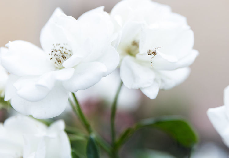 Spider Beauty In Nature Blooming Close-up Day Flower Flower Head Growth Nature No People Outdoors Petal Plant White Color