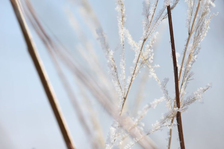 Russianwinter Peace And Quiet Peaceful Agriculture Plant Nature Growth Cereal Plant Rural Scene Crop  Close-up Outdoors Backgrounds No People Beauty In Nature Pastel Colored Wheat Winter Fragility Day Field Sky Freshness