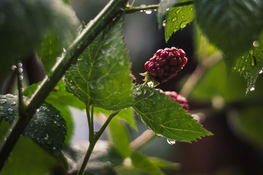 Blackberries after the Rain Rain Beauty In Nature Berry Fruit Blackberry Close-up Day Focus On Foreground Food Food And Drink Freshness Fruit Green Color Growth Healthy Eating Leaf Nature No People Outdoors Plant Plant Part Red Ripe Selective Focus