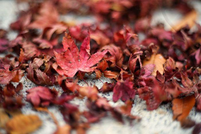 낙화.. 아니 낙엽 헝클어진 부서진 아쉬움 . Nature Beauty In Nature Maple Leaf Orange Color Vibrant Color Nature 가을 단풍 낙엽 5DMarkIV 50mm F1.8