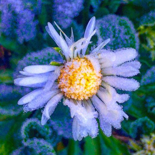 Frozen flower in Northamptonshire Flower Frozen Grass Northamptonshire Northants Northampton Uk United Kingdom Frost Ice