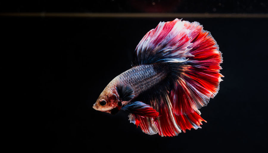 Betta or fight fish are beautifully colored in close-up view used for baking pictures and background