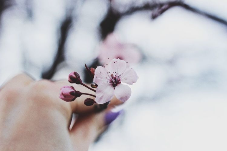 Flower Fragility Nature Petal Beauty In Nature Flower Head Pink Color Close-up Outdoors Freshness Growth Day Real People One Person Human Hand Plum Blossom Canon Canon600D Canoneos Canonphotography CanonEOS600D Millennial Pink