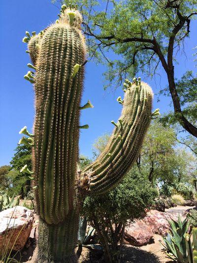 The Great Outdoors - 2016 EyeEm Awards Cactus Cactus Flower Flowering Cactus Flowering Cacti Cactus Garden Ethel M Tree Blue Sky
