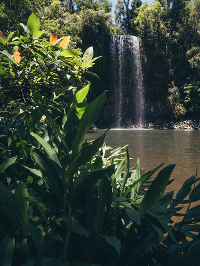 Millaa Millaa Falls Australia Queensland Water Plant Beauty In Nature Growth Plant Part Nature Leaf Motion Scenics - Nature Waterfall Tree Green Color No People Outdoors Day Spraying Tranquility Falling Water Flowing Flowing Water Power In Nature Millaa Millaa Falls